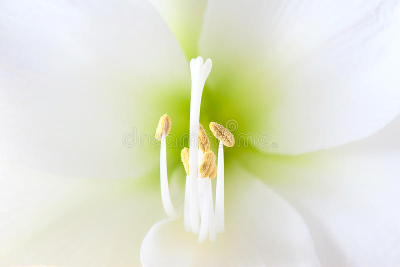 White amaryllis flower royalty free stock photo