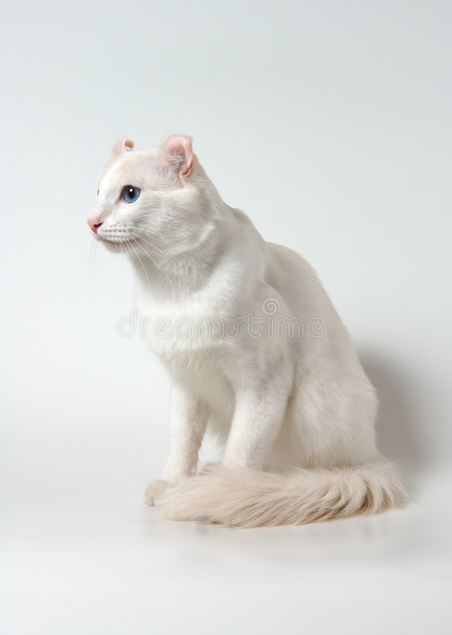 White american curl cat stock photography