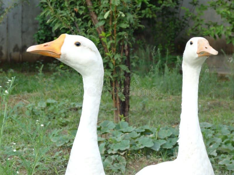 White american pekin duck looking opposite stock photography