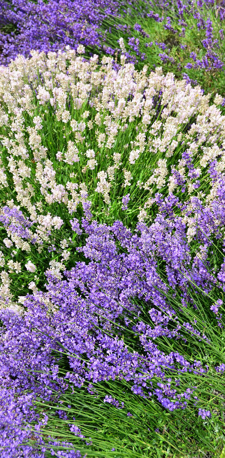 Free White And Purple Lavender Flowers In Landscape Row Royalty Free Stock Images - 98621989