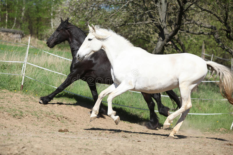 White andalusian horse with black friesian horse stock photography