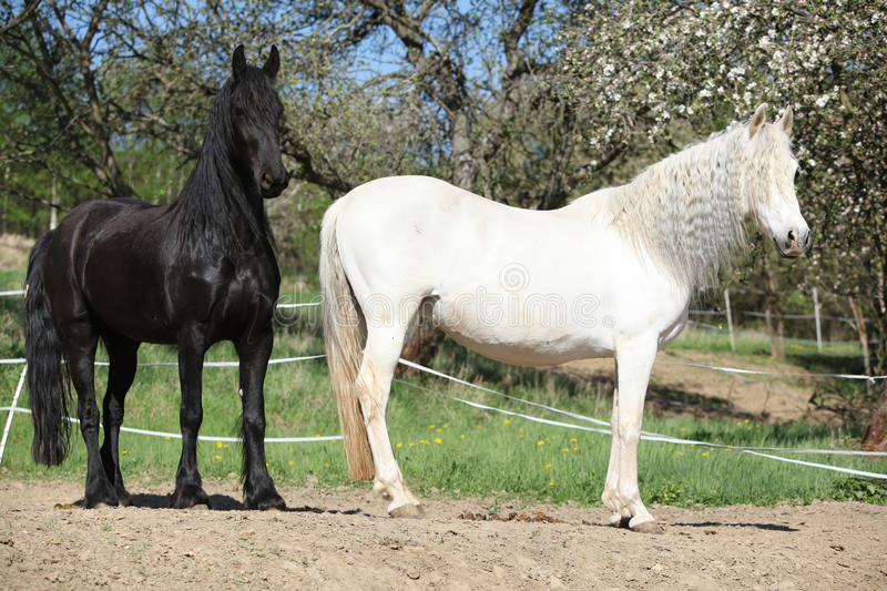 White andalusian horse with black friesian horse stock image