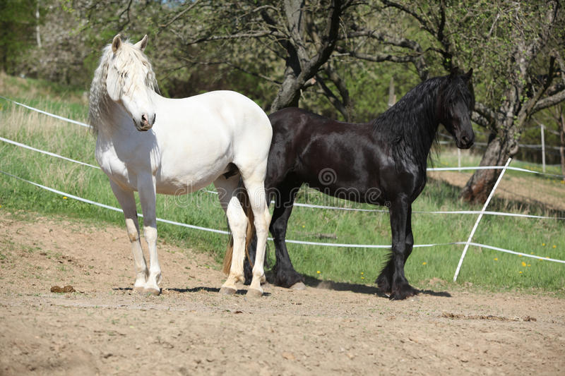 White andalusian horse with black friesian horse royalty free stock images