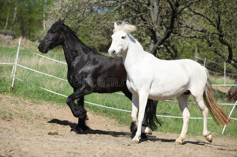 White andalusian horse with black friesian horse. In spring stock image