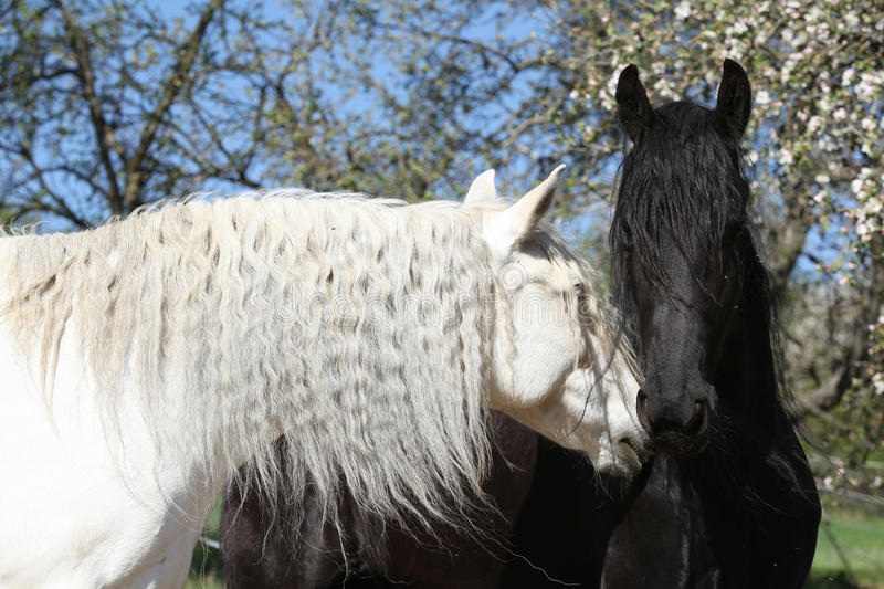 White andalusian horse with black friesian horse royalty free stock photos