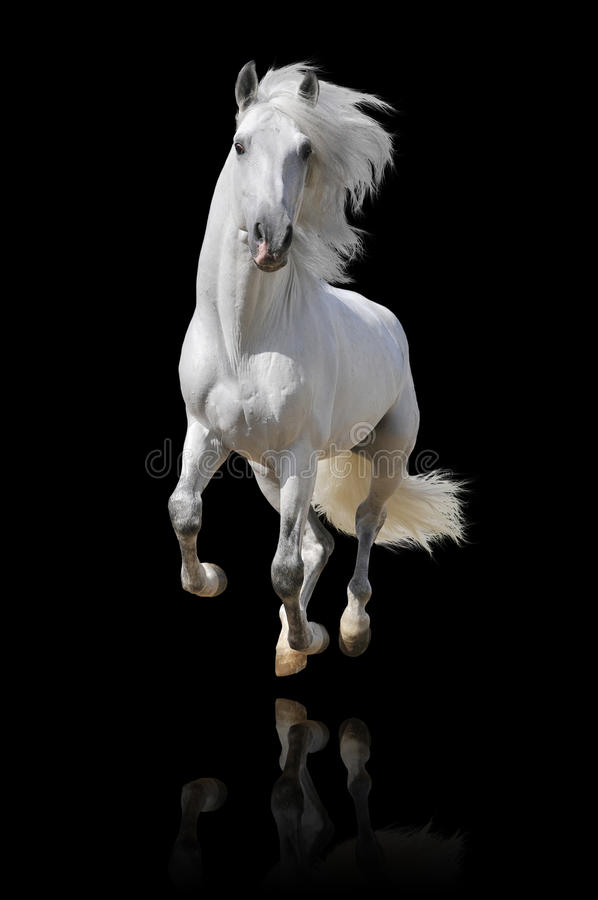 Free White Andalusian Horse Isolated Stock Photo - 17687240