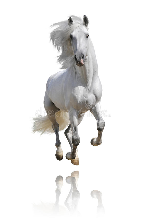 Download White Andalusian Horse Isolated Stock Photo - Image: 17877740