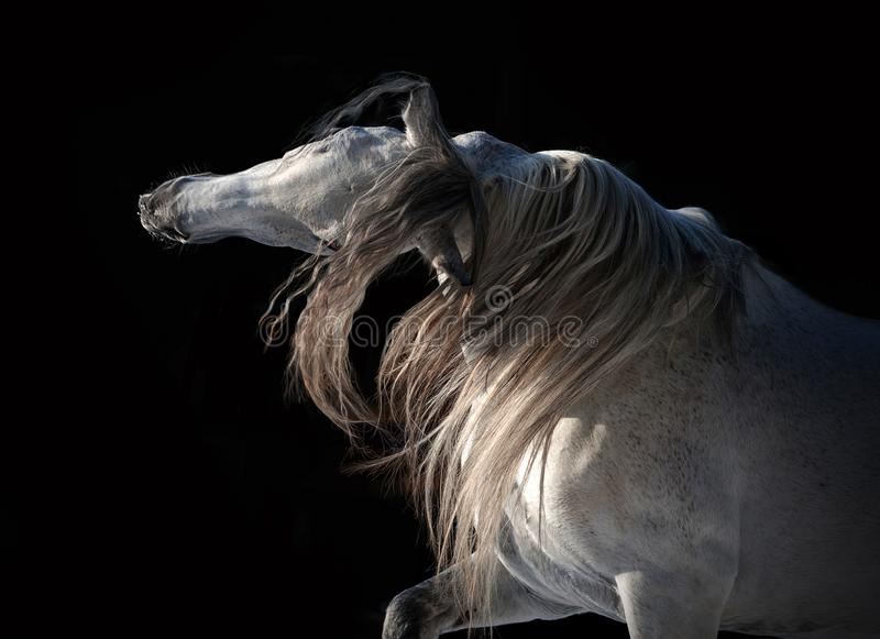White andalusian horse with long mane expressive portrait on black background royalty free stock photo