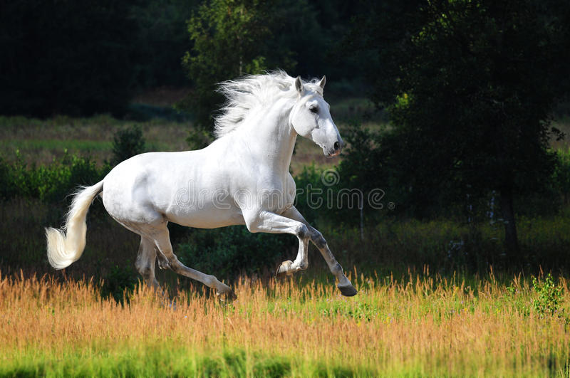 White Andalusian horse runs gallop in summer royalty free stock image