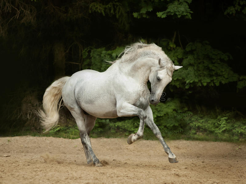 White Andalusian horse runs gallop in summer time royalty free stock images