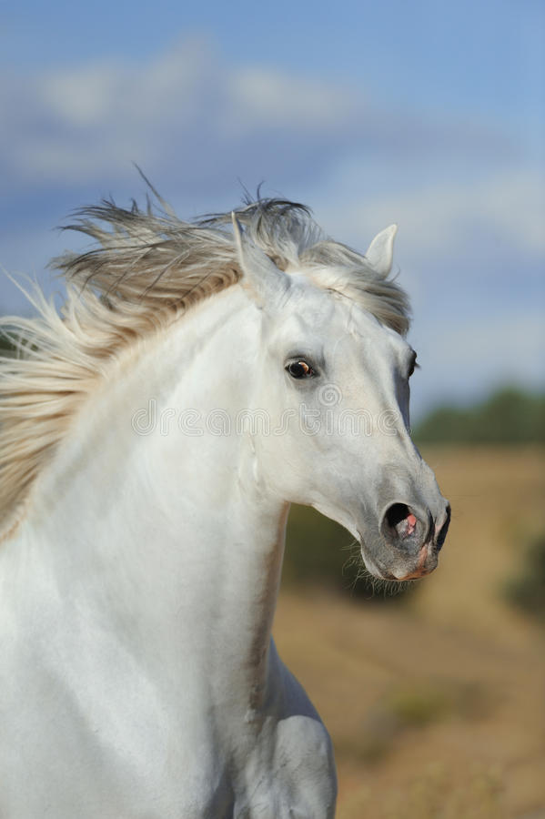 White andalusian stallion running in the fields stock images