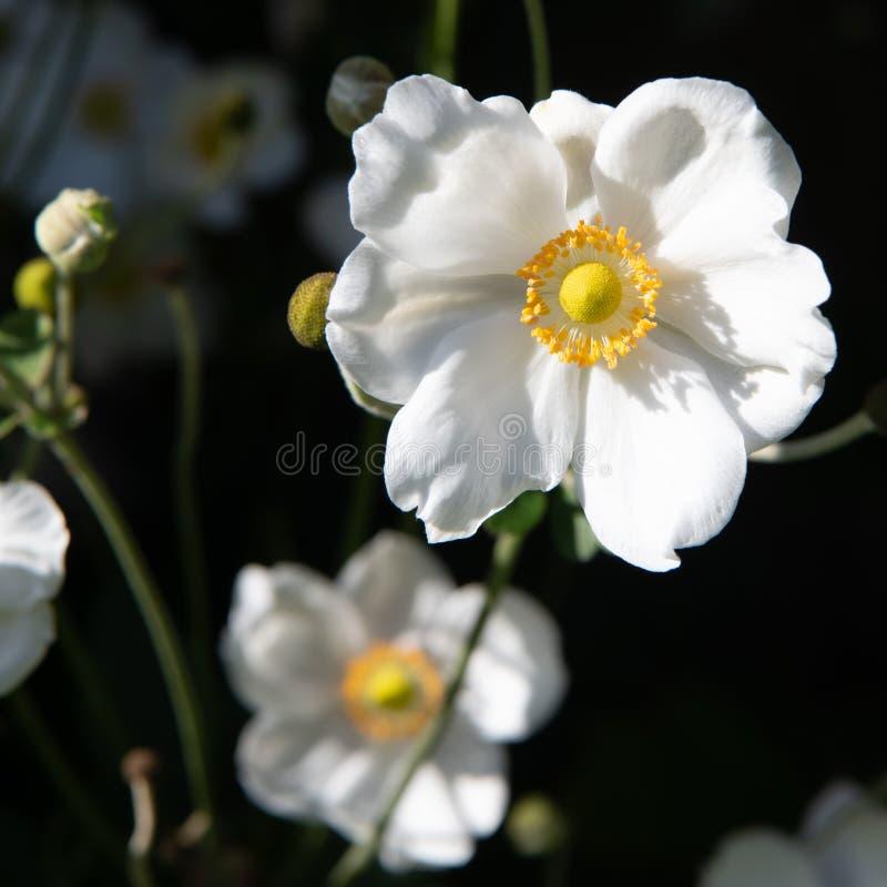 White Japanese anemone flower blooming in garden stock photo