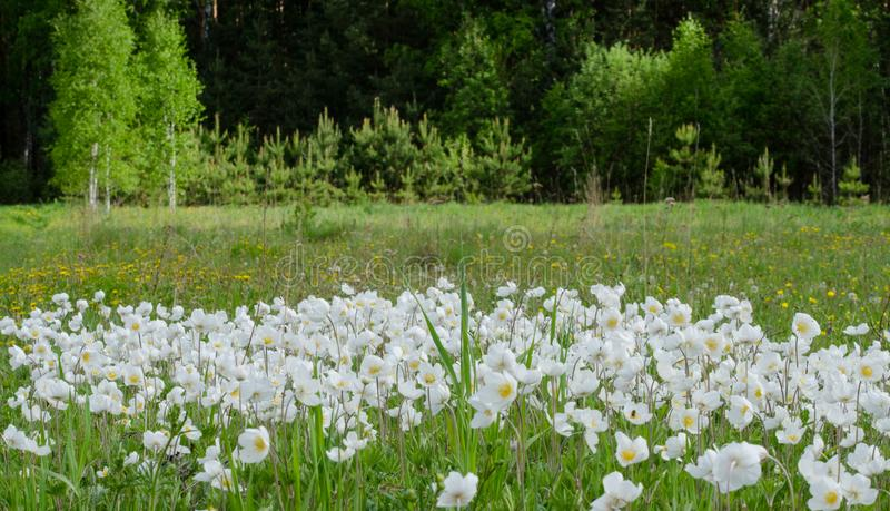 White anemones in the field royalty free stock image