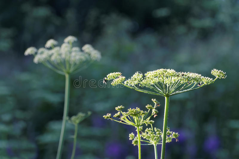 White angelica flowers, grass and trees in the background. White angelica flowers, grass and trees in the dark background stock photos