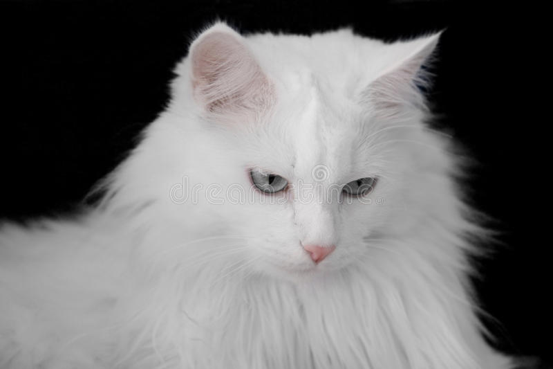 White angora cat stock photos