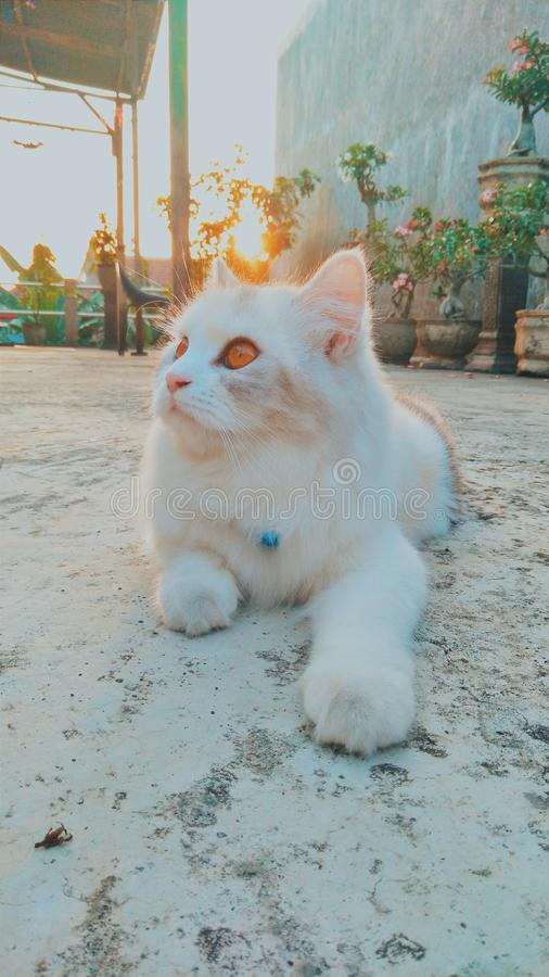 white angora cat who is enjoying the morning sun. royalty free stock photography