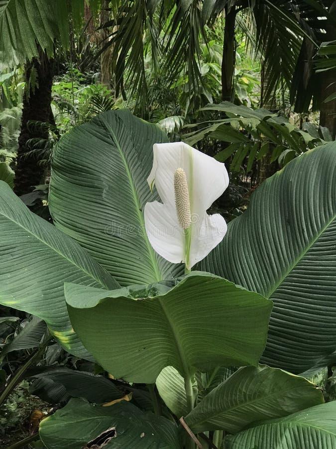 White Anthurium flower in botanic garden royalty free stock image