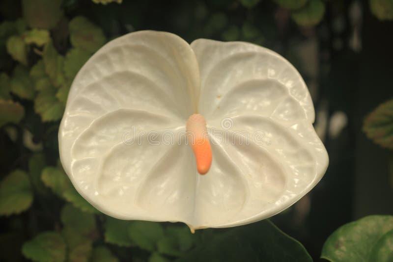 White anthurium. Flower closeup royalty free stock images