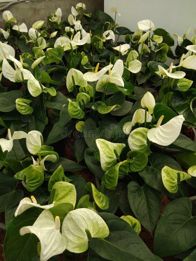 White anthurium in the garden. Flower, whiteflower royalty free stock photos