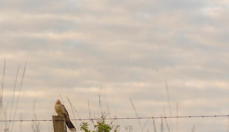 White Anu bird landed on wire fence 03. The white anu is a cuculiform bird in the Cuculidae family. Scientific Name: Guira guira. Measures between 36 and 42 stock photo