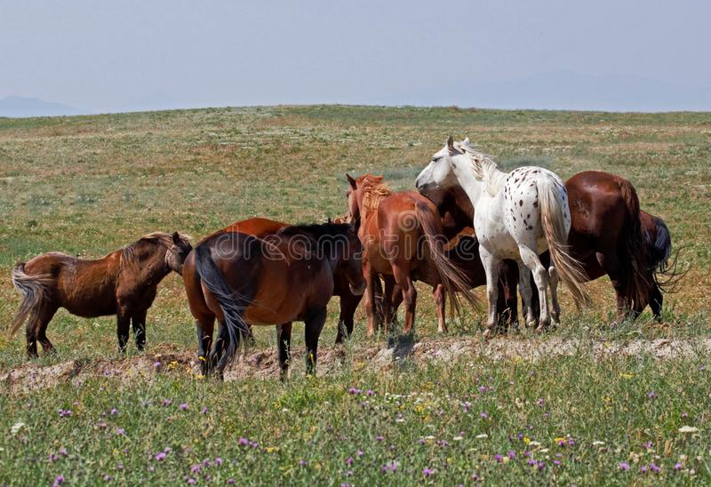 White Appaloosa in a Brown Herd royalty free stock image