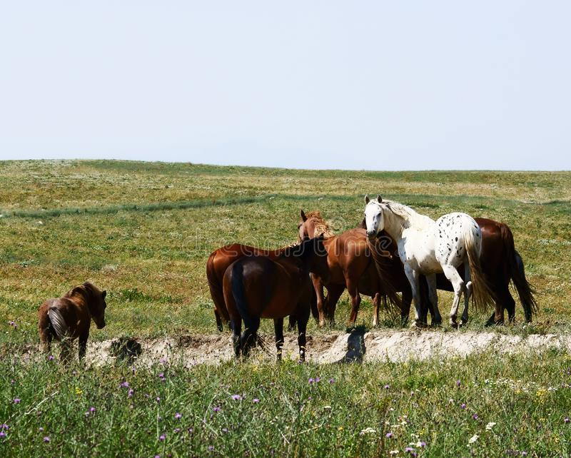 White Appaloosa Horse in a Brown Herd royalty free stock photos
