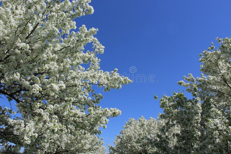 White Apple Blossoms in Full Bloom with Blue Sky Above stock photo