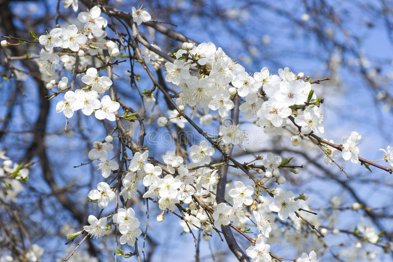 White Apple Flowers Stock Photography