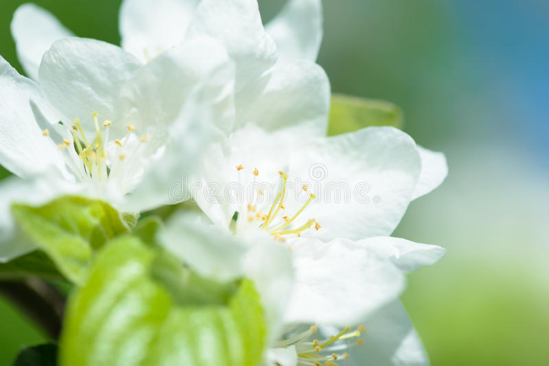 Download White Apple Flowers. Beautiful Flowering Apple Trees. Background With Blooming Flowers In Spring Day. Stock Photo - Image: 83705305