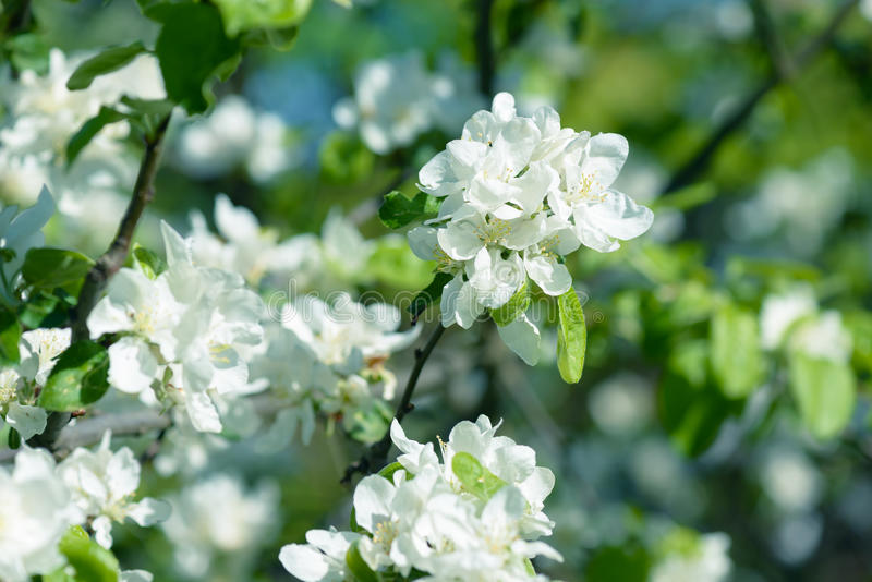Download White Apple Flowers. Beautiful Flowering Apple Trees. Background With Blooming Flowers In Spring Day. Stock Photo - Image: 83705370