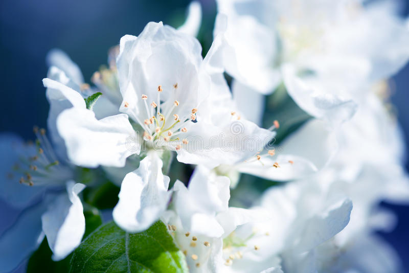 Download White Apple Flowers. Beautiful Flowering Apple Trees. Background With Blooming Flowers In Spring Day. Stock Image - Image: 83705607