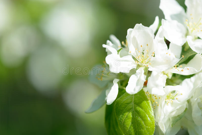 Download White Apple Flowers. Beautiful Flowering Apple Trees. Background With Blooming Flowers In Spring Day. Stock Photo - Image: 83706761
