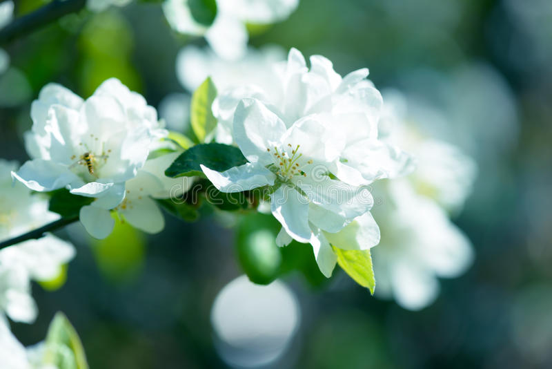Download White Apple Flowers. Beautiful Flowering Apple Trees. Background With Blooming Flowers In Spring Day. Stock Photo - Image: 83706845