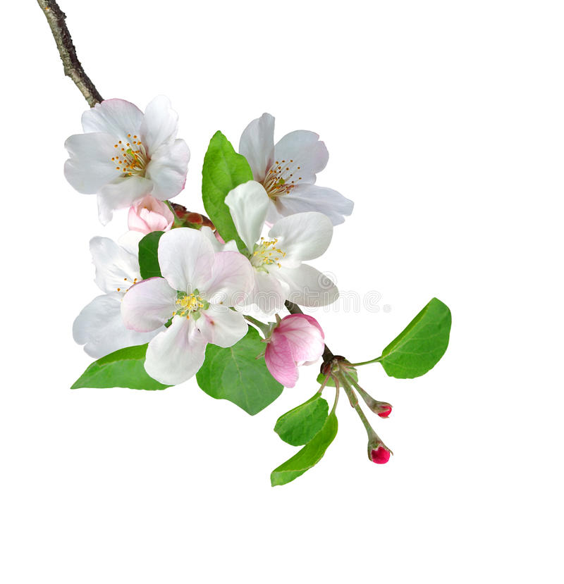 Free White Apple Flowers Branch Stock Photography - 37186472