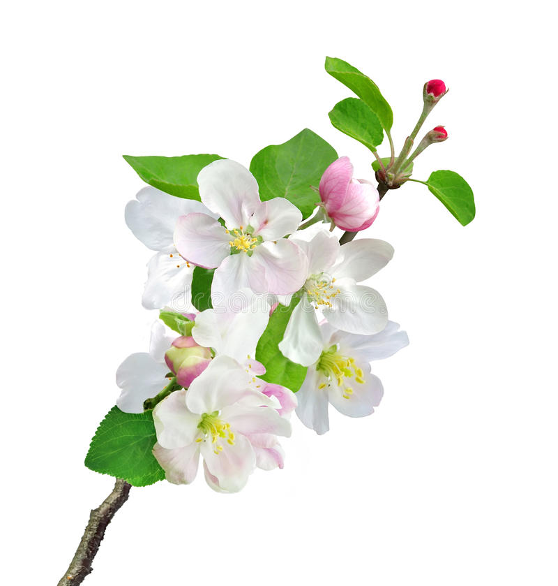 Free White Apple Flowers Branch Isolated On White Stock Images - 37964594