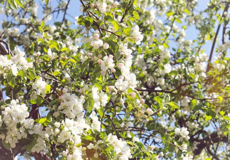 White apple flowers on a tree royalty free stock images