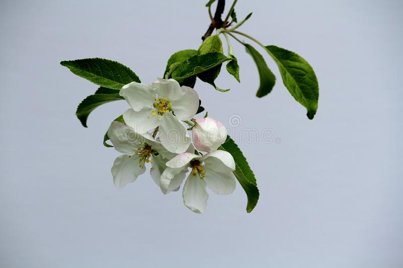 Apple tree blossoms blooming on a white background. stock images