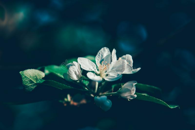 White apple tree flowers blossom on branch royalty free stock photography