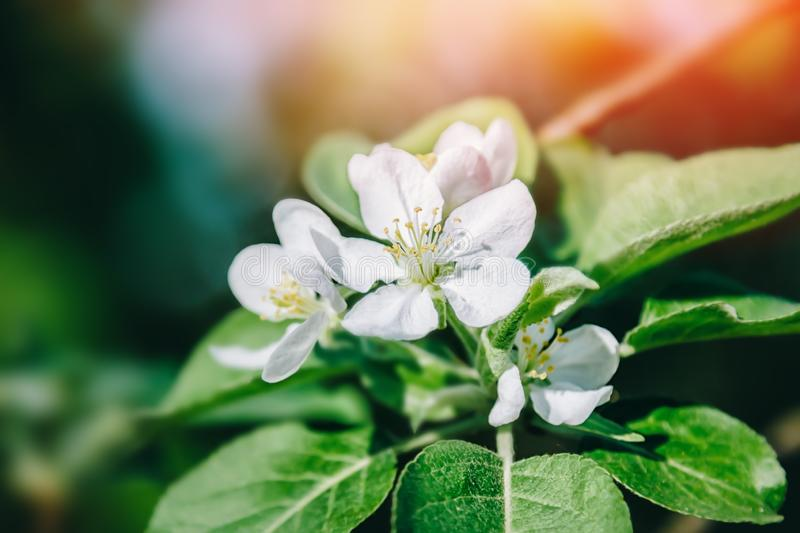 White apple tree flowers blossom on tree branch. Nature spring beautiful background royalty free stock photos