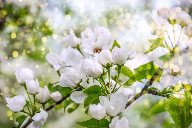 White apple tree flowers closeup. Blooming flowers in a sunny spring day background royalty free stock photos