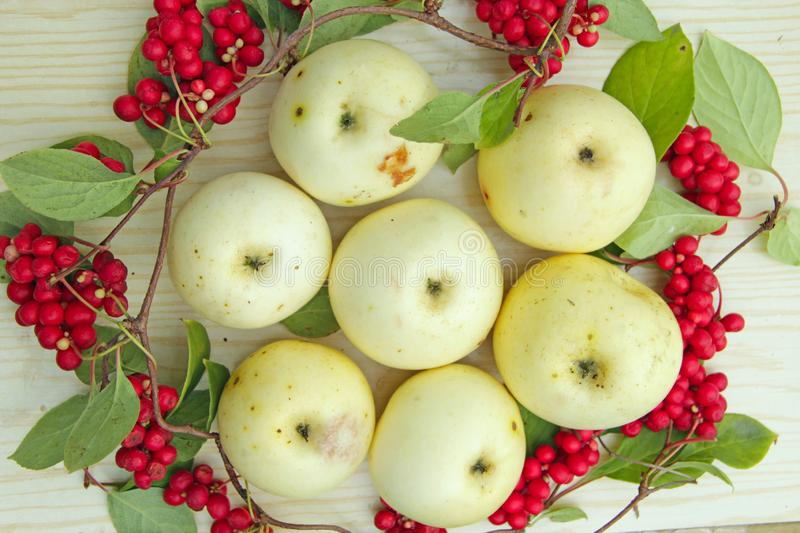 White apples and schisandra. Still life with ripe schizandra and apple. Schisandra and white apples. Still life with clusters of ripe schizandra and white apples royalty free stock photos