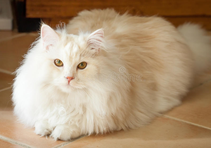 White and Apricot Persian Ragdoll Cat Lying Down Looking Up. Adorably cute white and ginger tabby Persian Ragdoll cat lying down and looking up at the camera royalty free stock photos