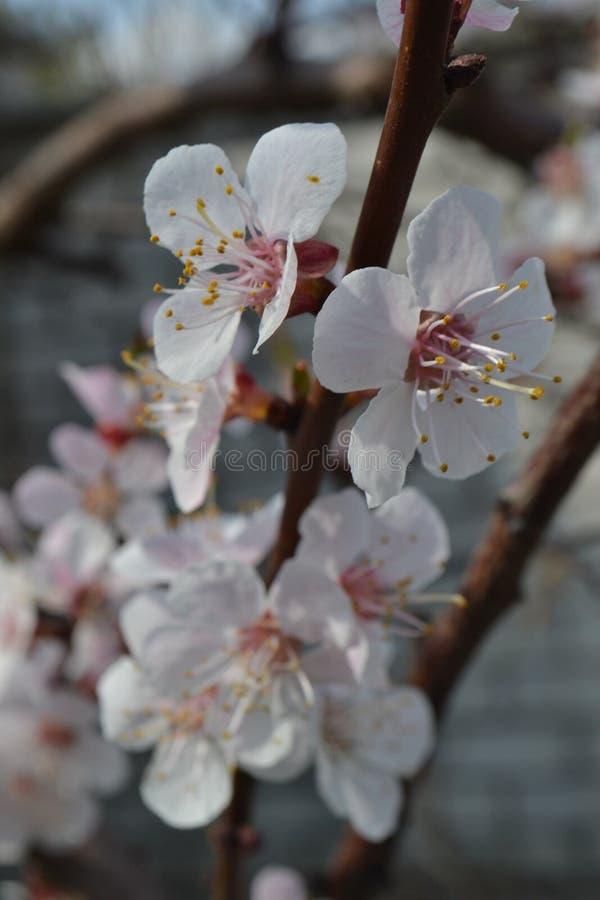 White apricot-tree flowers белые цветы абрикосы royalty free stock image