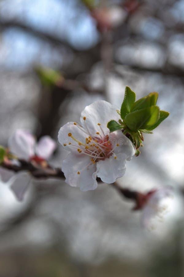 White apricot-tree flowers stock photo