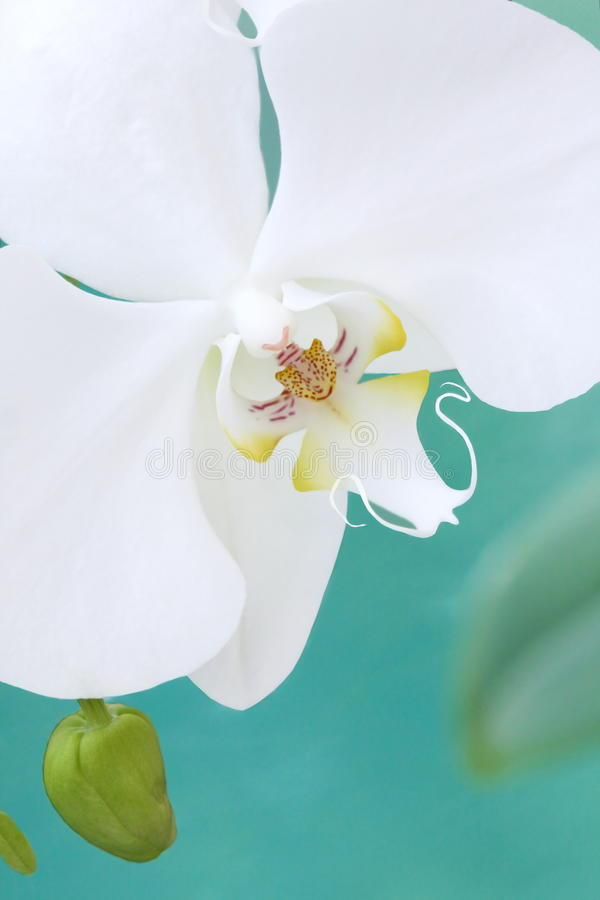 White aquarelle orchid royalty free stock photography
