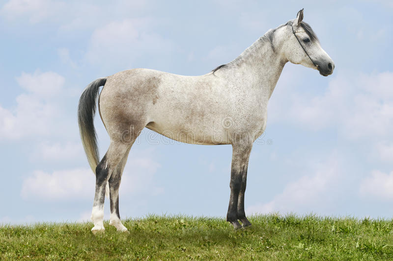 White arab horse royalty free stock images