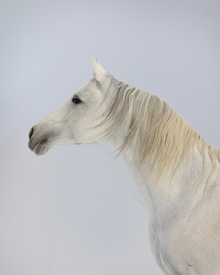Download White Arab Horse Royalty Free Stock Photos - Image: 21178948