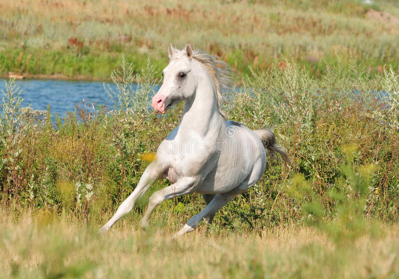 Download White arab horse stock photo. Image of beauty, western - 21405976