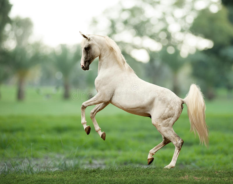 White arab horse runs gallop in summer time with stormy weather royalty free stock photography