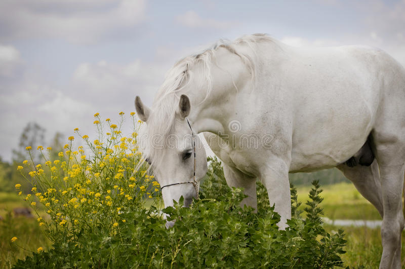 White arab horse smells the flowers royalty free stock photo